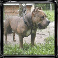 Cairo is the stud of over 120 pups, he is one of the famous Razors Edge names in Pitbull history. He is known to spit out big bully dogs in all his litters. Cairo is Great Grand Sire to Maximus.