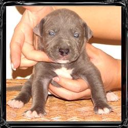 Oregon Puppy Sales Testimonials { Find Blue Nose Pitbulls Breeders ...