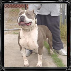 Gotti, need I say more his big chest is very unique, he is the G. G. G. Sire of Finest Kennels Perseus