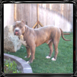 Oregon Puppy Sales Testimonials { Find Blue Nose Pitbulls Breeders